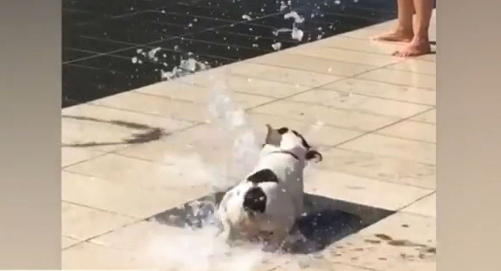 Pug is Amazed by Dry Fountain
