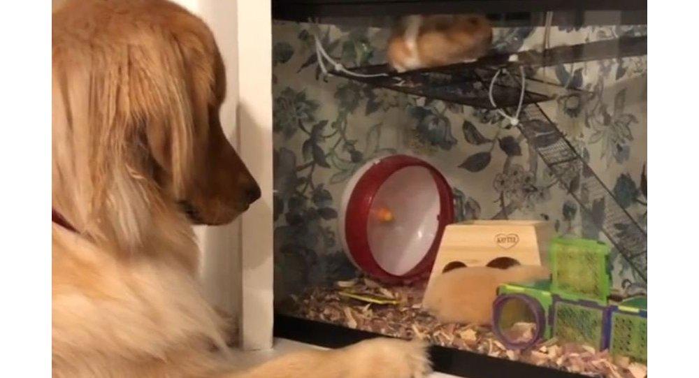 Golden Retriever is too Into Hamsters