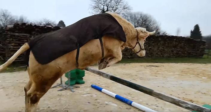Bull in Show: Brilliant Bovine Shows Off Horse-like Hops