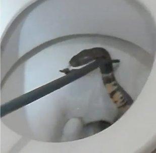 Cobra Pops Up In Toilet Bowl