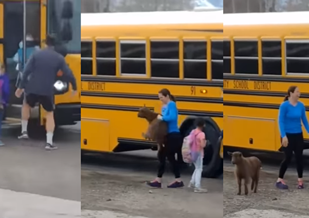 New Kid on the Bus: Goat Tries to Catch a Ride on Schoolbus