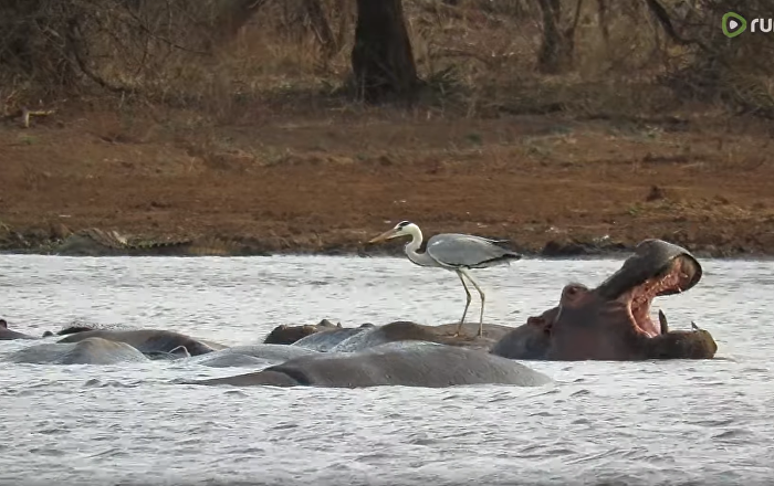 Fearless Heron Perches on Hippo's Back
