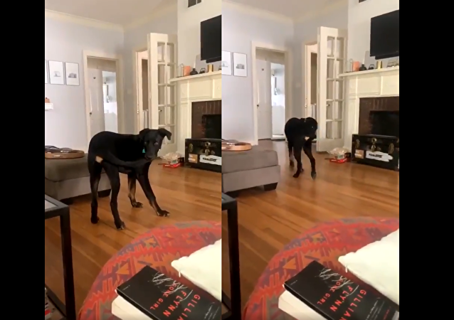 'Now What?': Determined Dog Catches Tail, Makes Awkward Exit