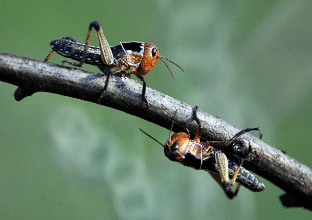 Swarm of Locusts