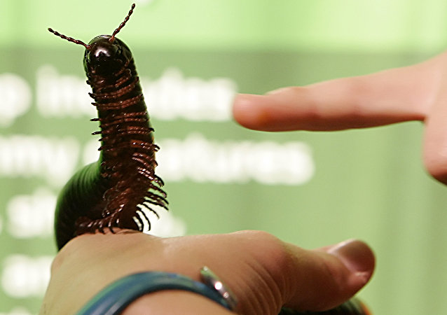 A Giant African Millipede