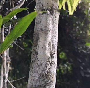 Uroplatus sikorae