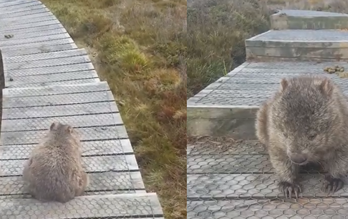 Wombat Wiggle: Hiker Catches Marsupial With an Itchy Bum