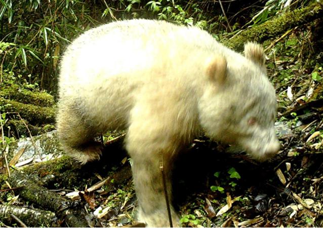 Albino giant panda