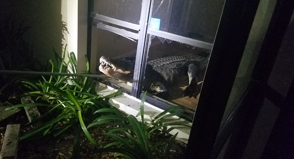 11-foot-long gator shatters window, settles down in homeowner's kitchen