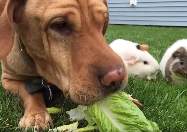 Healthy Hound, Guinea Pigs Enjoy Green Breakfast