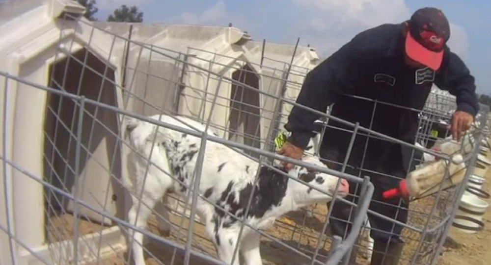 Undercover Activists Capture Rampant Abuse on US Dairy Farm