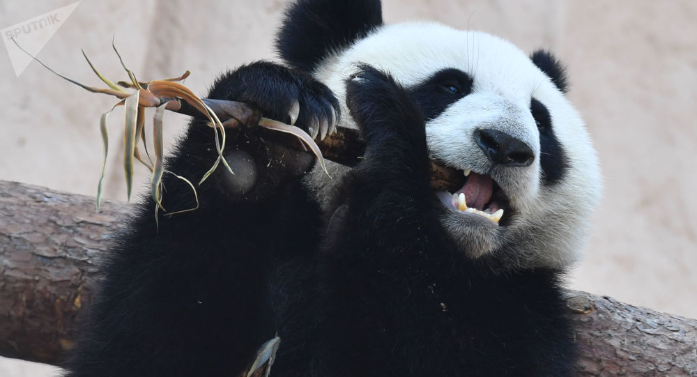 A giant panda sits in an enclosure before a visit of Russian President Vladimir Putin and his Chinese counterpart Xi Jinping at the zoo in Moscow, Russia. The Moscow Zoo received a pair of giant pandas from China as part of so-called panda diplomacy.