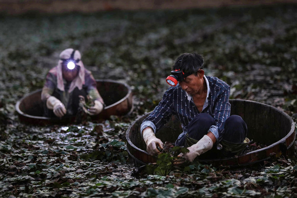 Farmers picking water chestnuts in a pond in Yunmeng county, outside Xiaogan City in China's central Hubei province.