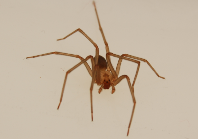 Adult male en:brown recluse spider anterior dorsal view.