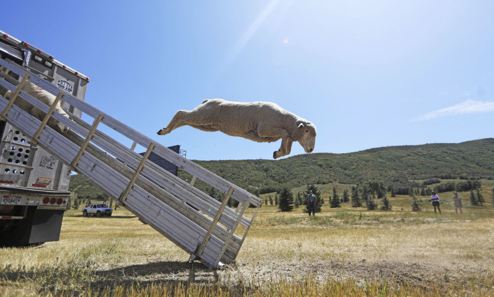 Sheep leap from a truck for the annual Soldier Hollow Classic Sheepdog Championship Wednesday, Aug. 28, 2019, in Midway, Utah