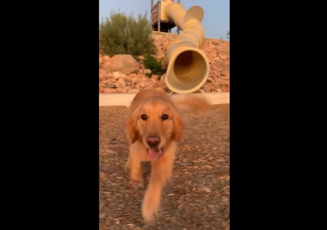 Flynn the Golden Retriever Takes on Playground Slide