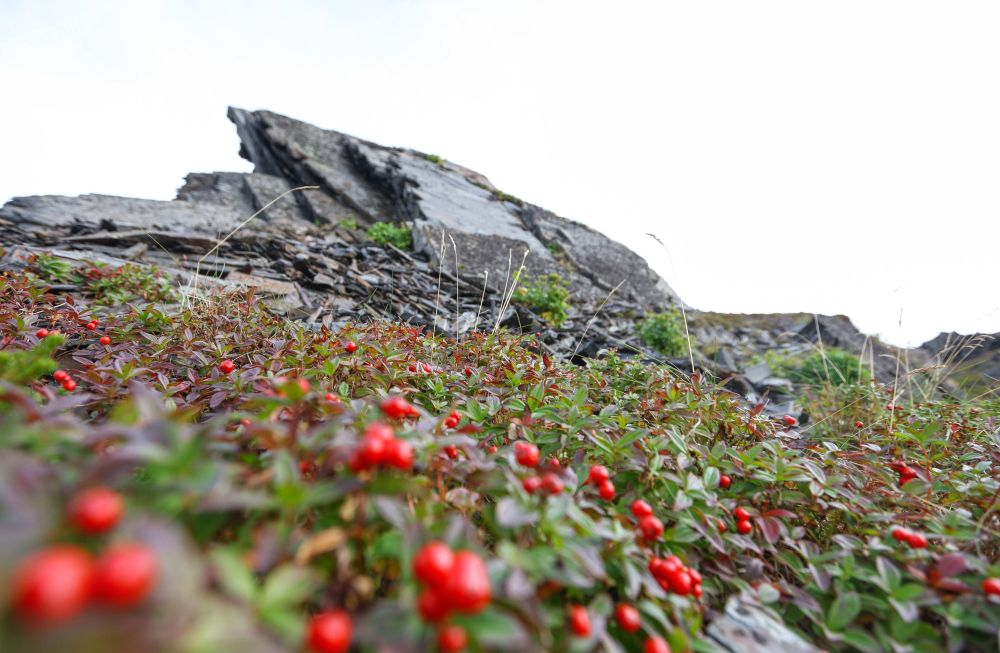 Cranberries growing at the bottom of Cape Kekursky's rocks on the Rybachy Peninsula in Murmansk region