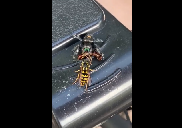 Jumping Spider steals a snack from Wasp