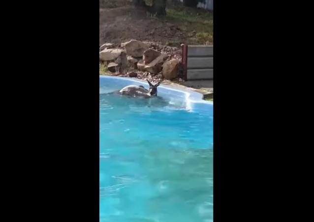 Kangaroo Jumps Into Backyard Pool, Goes for Refreshing Swim