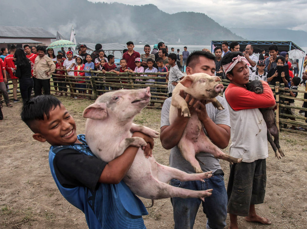 This picture taken on October 25, 2019 shows Indonesians taking part in a pig catching contest during the Pig and Pork Lake Toba Festival in Muara, located near Lake Toba, a popular crater lake in Sumatra.