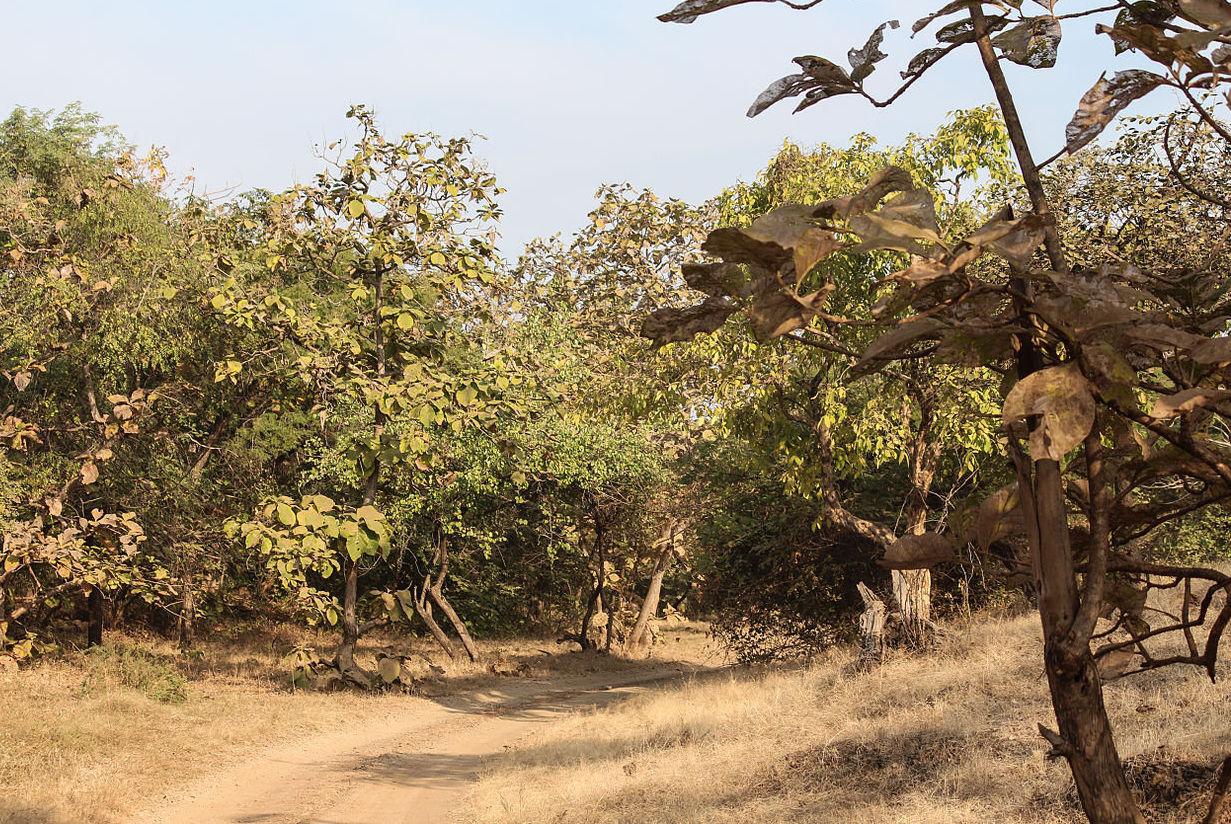 Teak trees in Gir Forest National Park