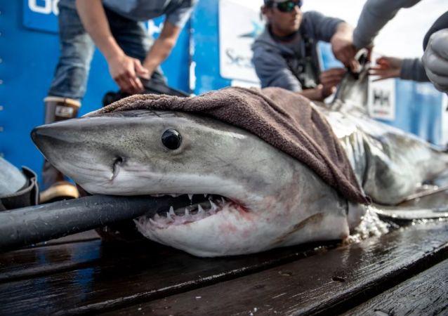 Brunswick the Shark