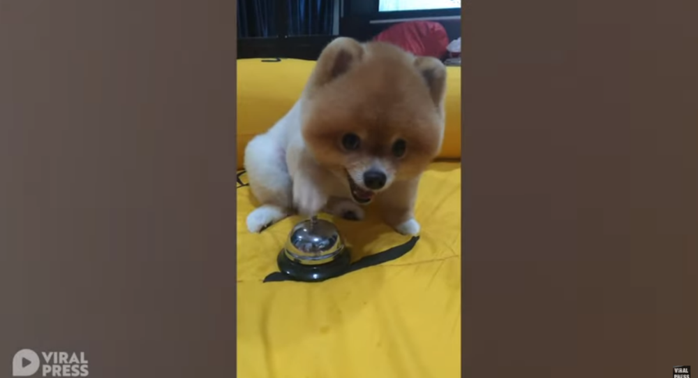 Bossy Pomeranian Rings Bell for Food