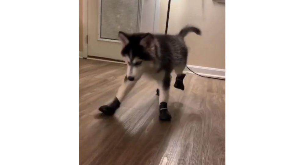 Husky in boots