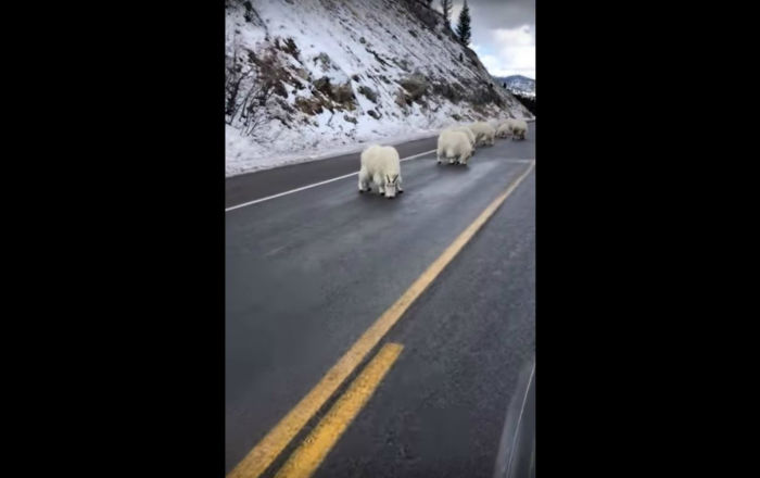 Traffic Jam! Mountain Goats Block Wyoming Road