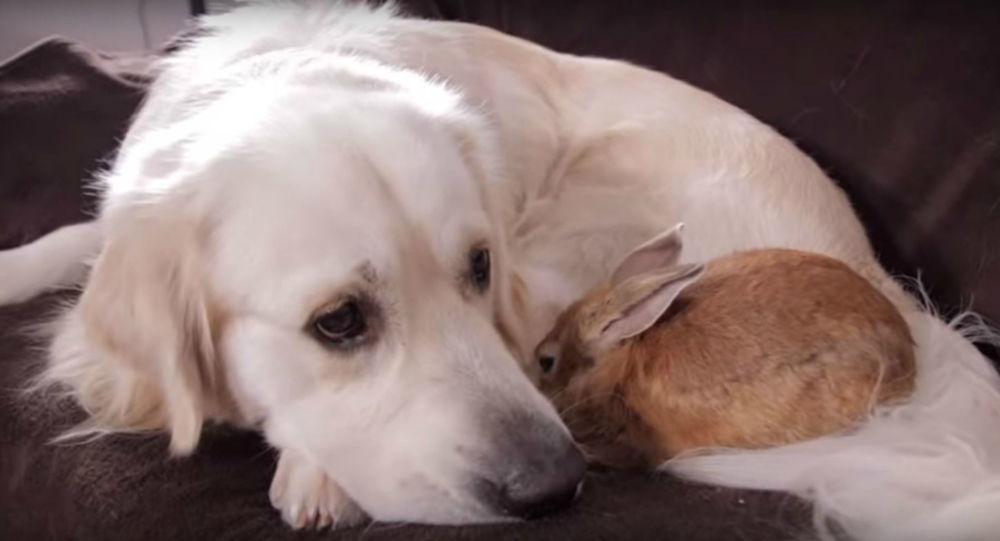 Love Knows No Bounds: Golden Retriever, Rabbit Make Best of Friends
