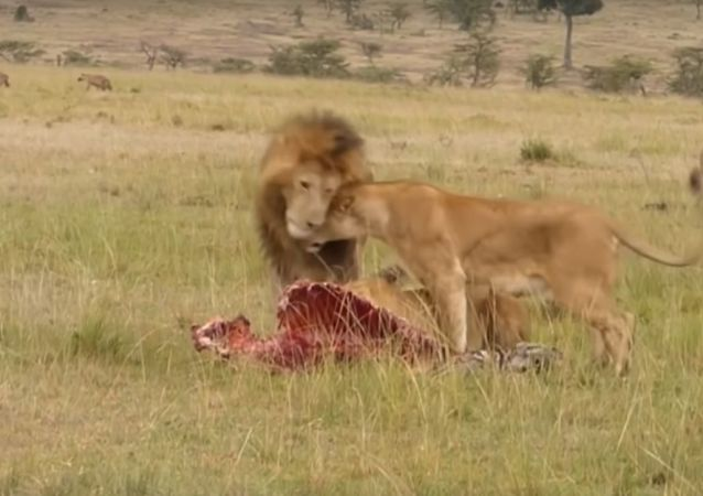 Big male lion shows lioness how to deal with hyenas