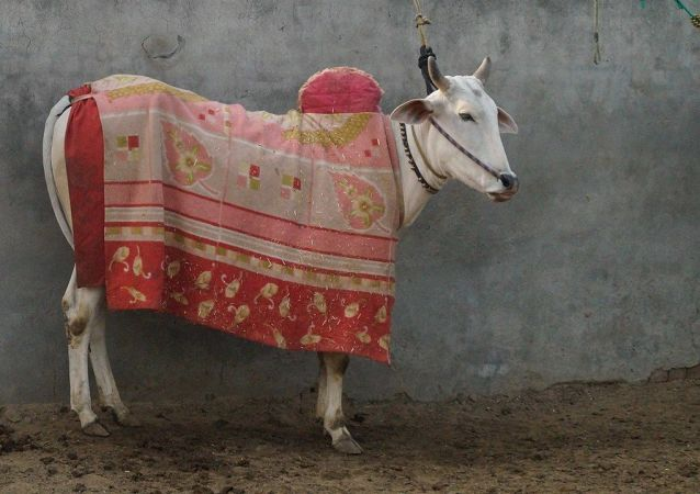 Cow with a cloth piece on top