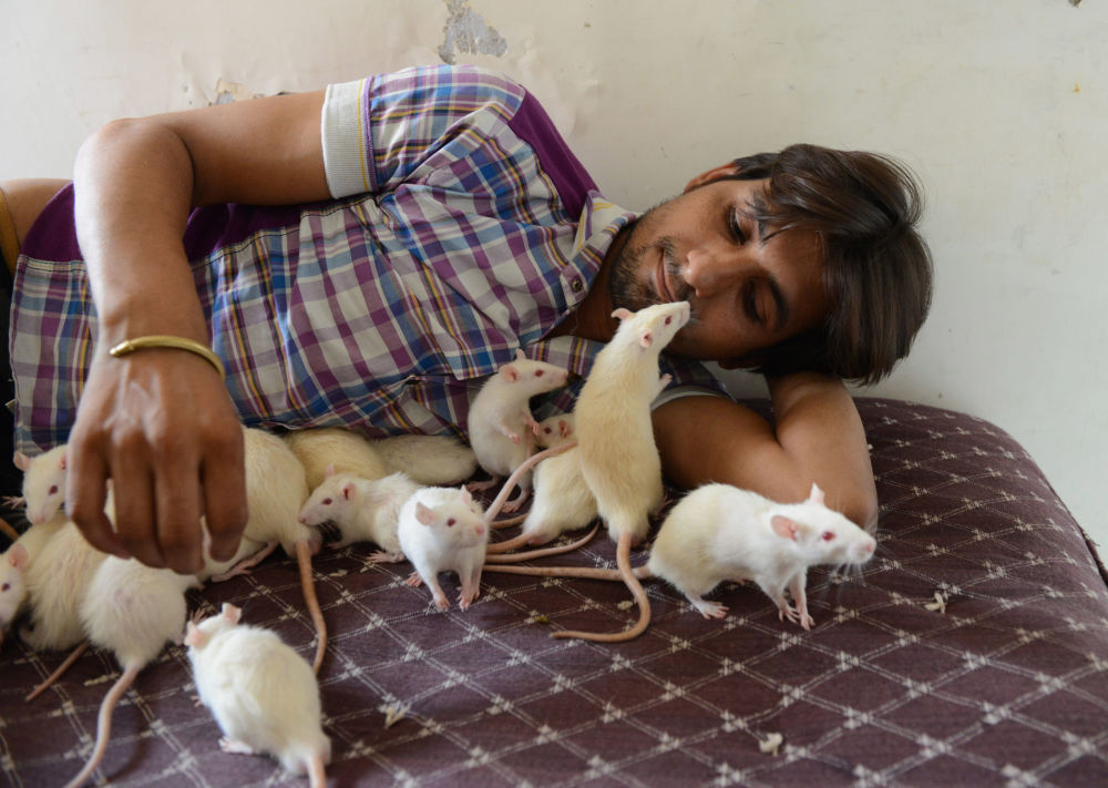 Indian shop owner, Sonu Sharma, 26, nicknamed the Ratman, has over 50 rats. He adopted four white rats over a year ago since then they multiplied and he has kept many as pets.