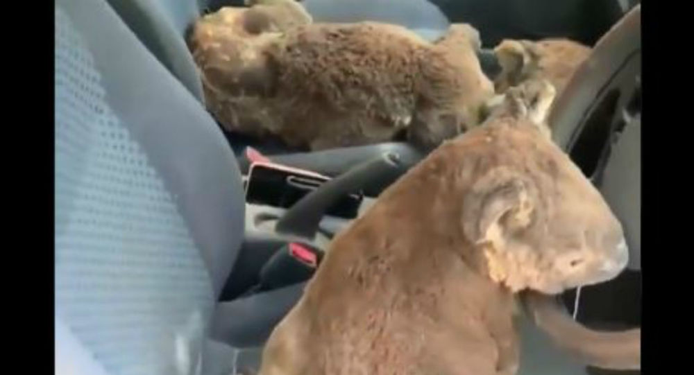 Kind Aussies Rescue Koalas Ahead of Approaching Wildfires