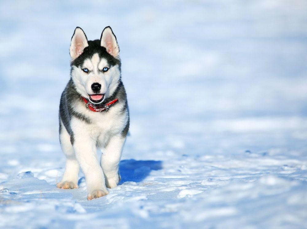 A Siberian husky enjoys a snowy sunny day