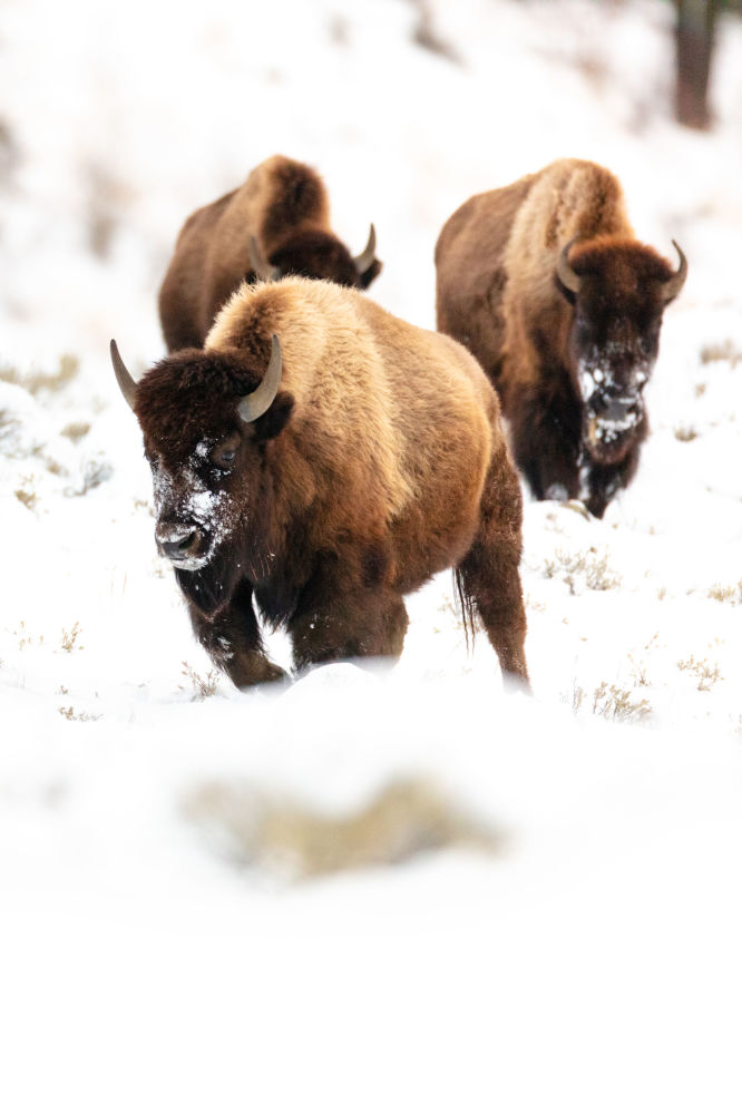 Bisons in the Yellowstone Park in the US