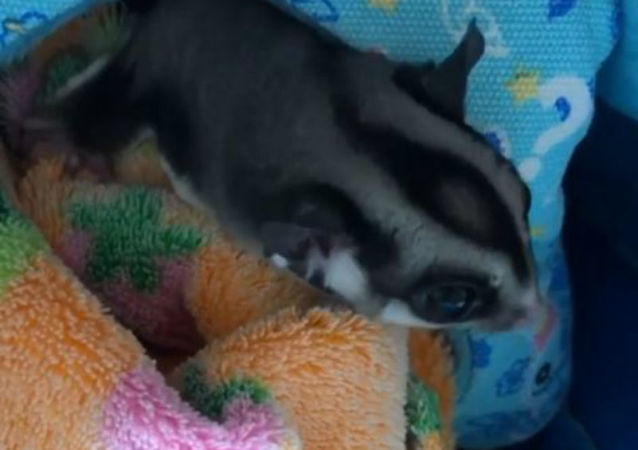 Let Me Sleep! Slumbersome Sugar Glider Wants To Snooze