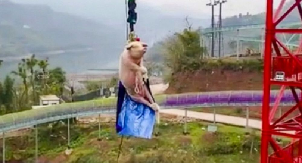 Chinese theme park makes a large pig bungee jump off tower