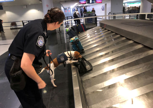 Jessica Anderson, an agricultural specialist for U.S. Customs Border and Protection, works with a beagle named Bettie to sniff out banned pork products at O'Hare International Airport in Chicago, Illinois, U.S. October 9, 2019.