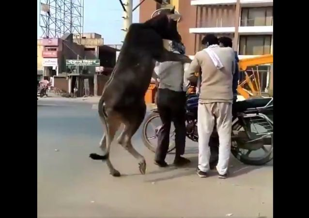 I'm trying to understand what the cow was upto