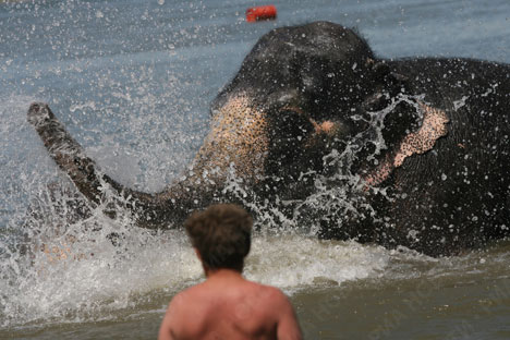 Indian elephants take a dip in Siberian river