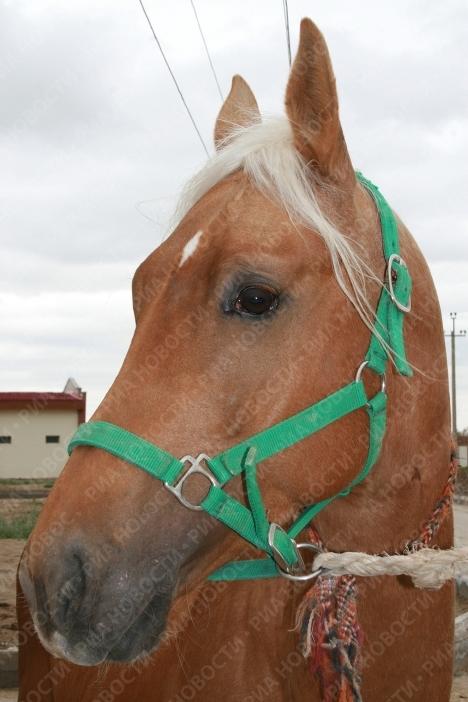 В наши дни для того, чтобы вывезти ахалтекинца за пределы Туркменистана, требуется специальное разрешение. В стране действует программа развития национального коневодства.