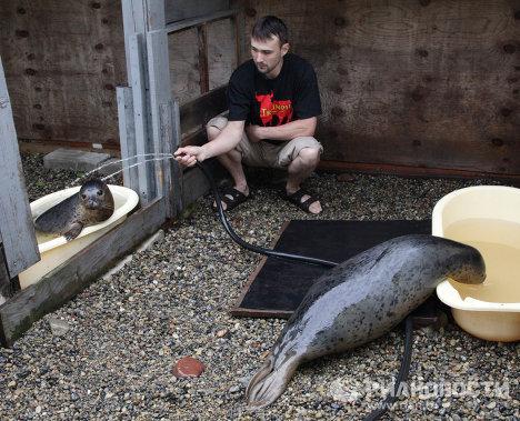 Выхаживание ослабевших пятнистых тюленей