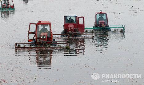 Уборка клюквы на плантациях предприятия Белорусские журавины