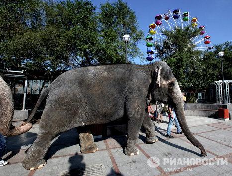 Индийские слонихи Магда и Дженни проходят по Спортивной набережной Владивостока