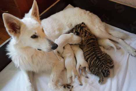 Овчарка Талли с щенками и тигренком в квартире ветеринарного врача Натальи Степановой.