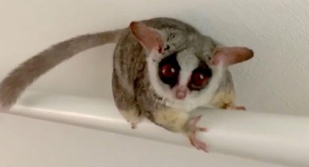 Adorable Pet Bush Baby 'Hangs' in Japan
