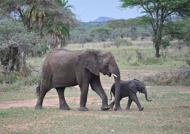 Baby elephant with its mom