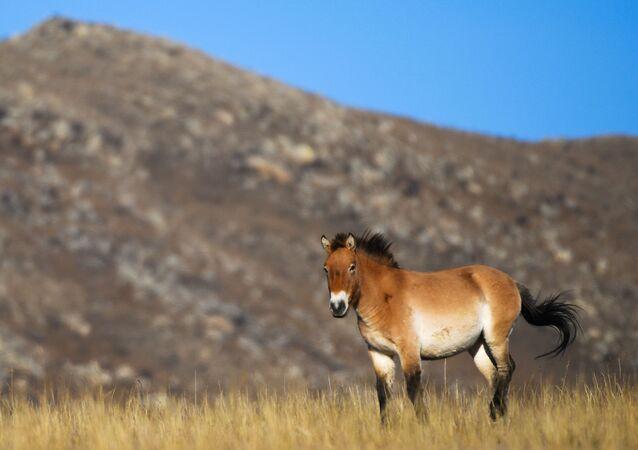 Przewalski's horse in Hustai National Park in Mongolia