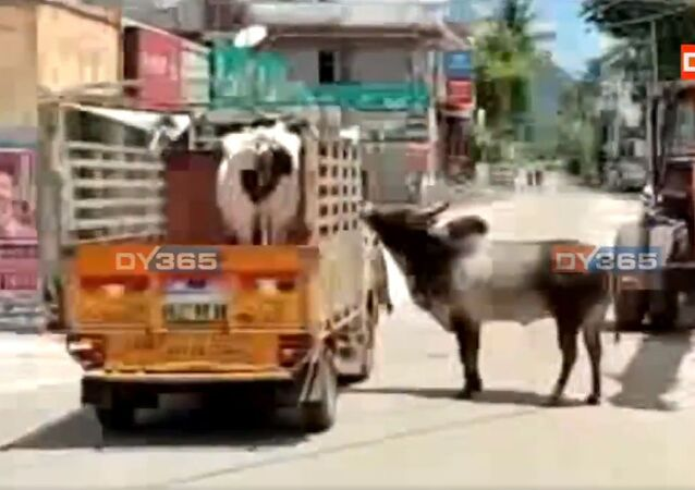 Tamil Nadu: A bull followed for about a kilometer, a vehicle in which a cow that was sold by her owner was being carried in Palamedu area of Madurai. The cow and the bull used to stay together. They were later reunited after the incident